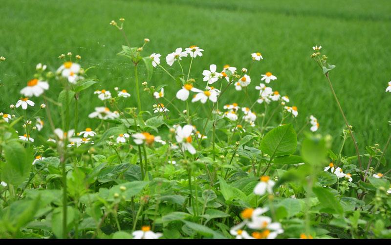 Công dụng của hoa xuyến chi