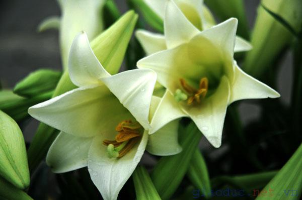 Hoa Loa Ken Ch�m ảnh: tinh kh�i hoa loa
