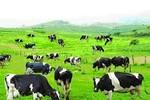Hà Lan – Việt Nam: Hợp tác xây dựng vùng chăn nuôi bò sữa