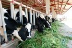 Bầu Đức lần đầu tiết lộ công nghệ chăn nuôi bò sữa