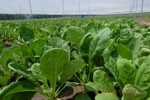 Đột nhập vườn rau sạch giá bình dân của Vingroup