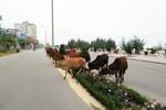 Gia súc thả rông trên đường, tiềm ẩn hiểm họa tai nạn giao thông