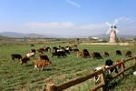 Thấy gì từ trang trại bò sữa Organic đầu tiên tại Việt Nam?