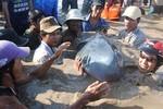 Hai cá voi trôi dạt vào bờ biển Quảng Bình