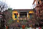 Vào vườn chi mai lớn nhất Hà Nội