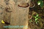 Tác dụng của Nấm Lim Xanh chữa bệnh ung thư ở Quảng Nam
