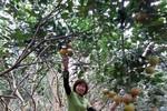 """Cảnh giác: """"Trộn"""" lẫn cam Việt để dễ bán cam Trung Quốc"""