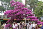 Tuyệt tác cây hoa giấy nở kín bông giá gần 100 triệu đồng