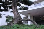 Ngắm cây tùng cổ ở Phú Thọ lọt top 100 cây cảnh đẹp nhất thế giới