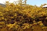 Ông chủ cây mai cổ thụ ngàn người xem kể kinh nghiệm chăm hoa nở đúng dịp Tết