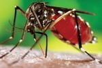 Nuôi muỗi trị bệnh... sốt xuất huyết ở Nha Trang
