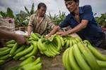 Hàng ngàn nông dân miền Nam Trung Quốc sang Bắc Lào làm ăn