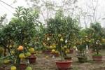 Lãi hàng trăm triệu đồng trong dịp tết nhờ bán cây ăn quả lạ