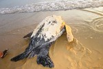 Phát hiện rùa biển cỡ lớn vào bờ đẻ trứng