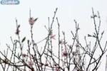 Ảnh: Hoa đào nở bung mang hương Tết sớm đến Hà Nội