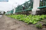 """Ảnh độc: Người dân """"chọc lỗ"""" bê tông, tra hạt trồng rau giữa Thủ đô"""