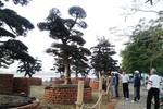 Vườn Tùng trăm tuổi giá bạc tỷ giữa lòng Hà Nội