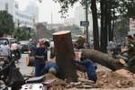 """Chặt cây không phải hỏi dân, nhưng chắc là phải """"hỏi lãnh đạo"""""""