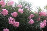 5 loại cây có độc bị cấm trồng tại TP.HCM