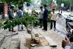 Hà Nội: Hơn 500 cây gỗ sưa đỏ được bảo vệ 24/24h
