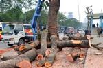 Vụ chặt cây: Hà Nội kỷ luật cán bộ, 30 ngày nữa có kết quả thanh tra