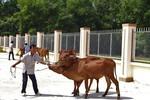 Masan Nutri-Science tặng 30 con bò giống cho người nghèo tỉnh Long An