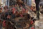Phát hiện kháng sinh cực độc trong gà nhập lậu