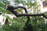 """Lợi dụng bão trộm cây Sưa: Đơn vị quản lý """"phủi tay"""" trách nhiệm?"""