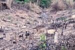 Clip: Rừng ở Thanh Hóa bị chặt phá không thương tiếc
