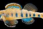 Họ ông Obama được lấy đặt tên cho loài cá nước ngọt