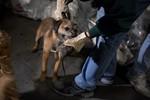 Ảnh: Dân Mỹ huấn luyện chó chuyên săn chuột tại Manhattan, New York