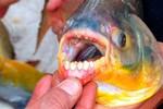 """Thụy Điển cảnh báo nam giới: Cá cắn """"của quý"""" đã xuất hiện"""