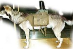Tiết lộ mới về chó cảm tử của Hồng quân Liên Xô trong Thế chiến II