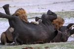 Video: Sư tử đói châu Phi rượt đuổi, hạ gục voi đi lạc