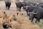 Video: Trâu rừng đương đầu với đàn sư tử giải cứu đồng loại