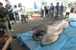 """Video: Bắt được """"cá mập ngoài hành tinh"""" dài 4 mét tại Nhật Bản"""