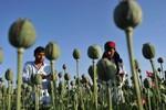 Mỹ thừa nhận thất bại trong cuộc chiến chống ma túy ở Afghanistan