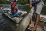 Ảnh: Mùa săn cá hổ khổng lồ ở Amazon