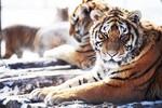 """Đại gia Trung Quốc bị phạt tù 13 năm vì thịt 10 con hổ để ăn """"của quý"""""""