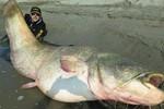 Cận cảnh cá trê khổng lồ có thể nuốt cả một người lớn tại Ý