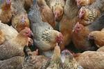 Gà Trung Quốc được vỗ béo bằng... 18 loại kháng sinh