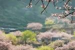 """Quá đẹp mùa xuân giá buốt ở """"thiên đường hoa đào"""" Mộc Châu, Sơn La"""