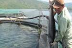 Xác định 10 đối tượng nhập lậu cá tầm Trung Quốc vào Việt Nam