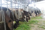 FrieslandCampina phát triển vùng chăn nuôi bò sữa bền vững tại Hà Nam