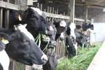 Chủ tịch huyện không có số TGĐ Vinamilk, nông dân không bán được sữa?
