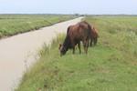Đến lượt người dân Quảng Bình phải đóng phí đồng cỏ cho trâu bò