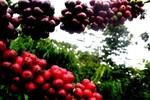 Biết rõ cả điểm yếu, điểm mạnh vì sao DN cà phê Việt vẫn lao đao?