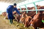 Mục sở thị đàn bò của Bầu Đức
