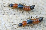 Bộ Y tế khuyến cáo cách đơn giản phòng chống kiến ba khoang