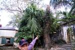 Cận cảnh cây sưa cổ thụ trị giá 2 triệu USD bị cưa trộm trong siêu bão